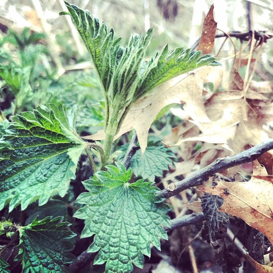 Young Nettles