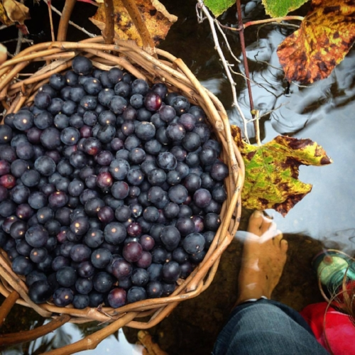 Wild Grape harvest and riverwalk with my daughter