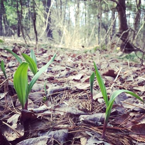 Re-populating the woodlands with threatened woodland medicinal, Wild Leeks/Ramps  (Allium tricoccum)