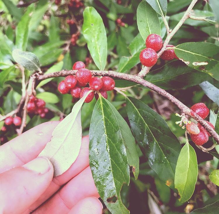autumn olive underside.jpg