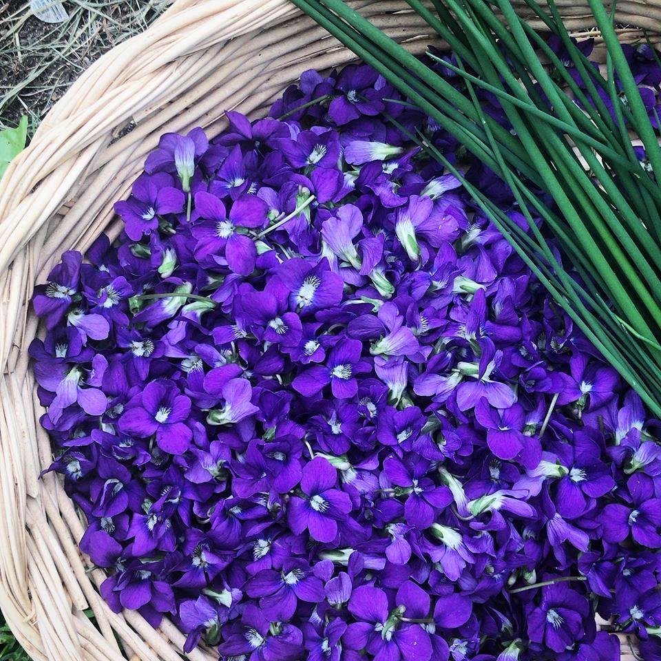 violet harvest.jpg