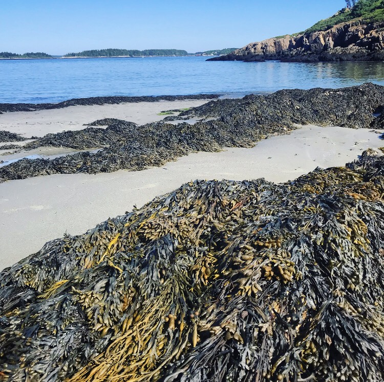 Bladderwrack and other intertidal zone seaweeds growing on rocks at low tide