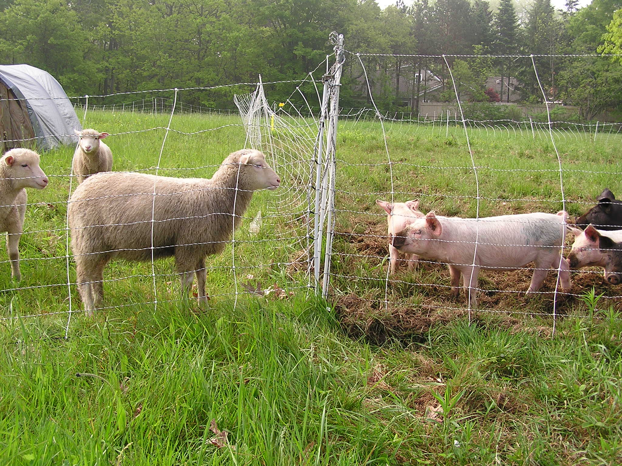 lamb-pig.JPG