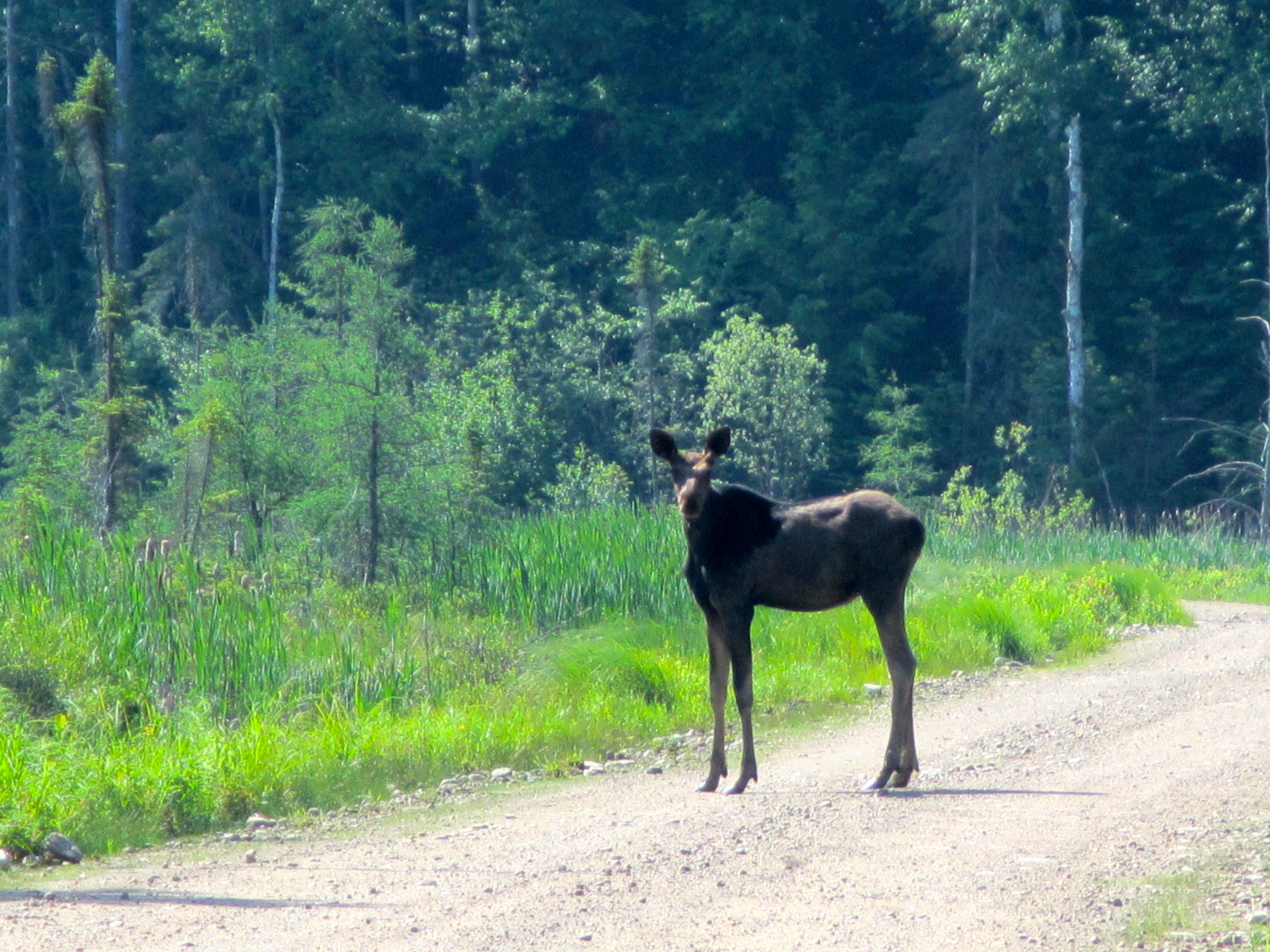 First Moose Sighting.JPG