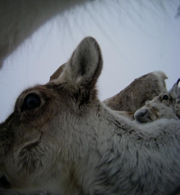 All photos: The wild reindeer Bella/  Olav Strand/NINA  .