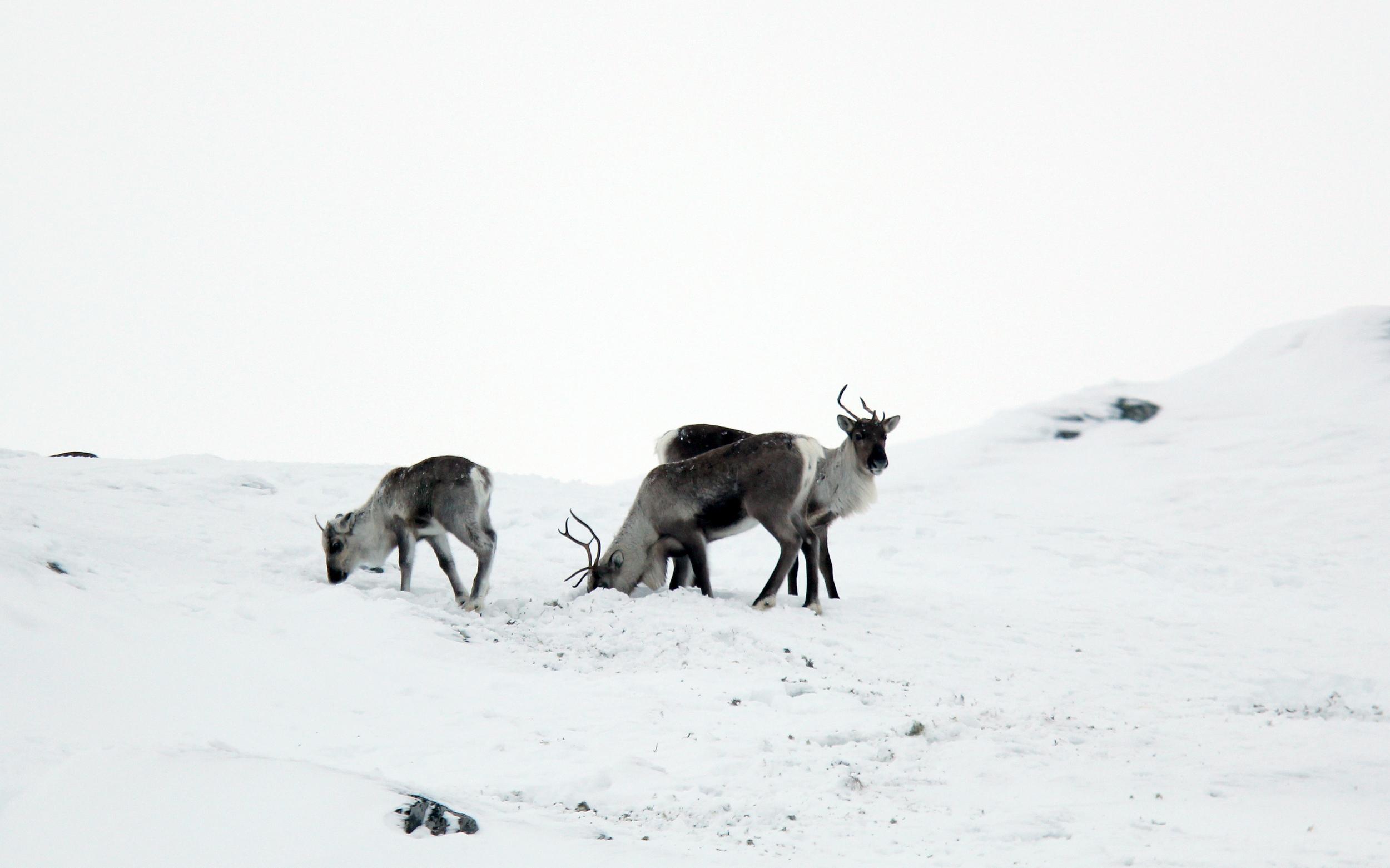 Villrein på vinterbeite i Brattefjell-Vindeggen. Foto: Anders Mossing