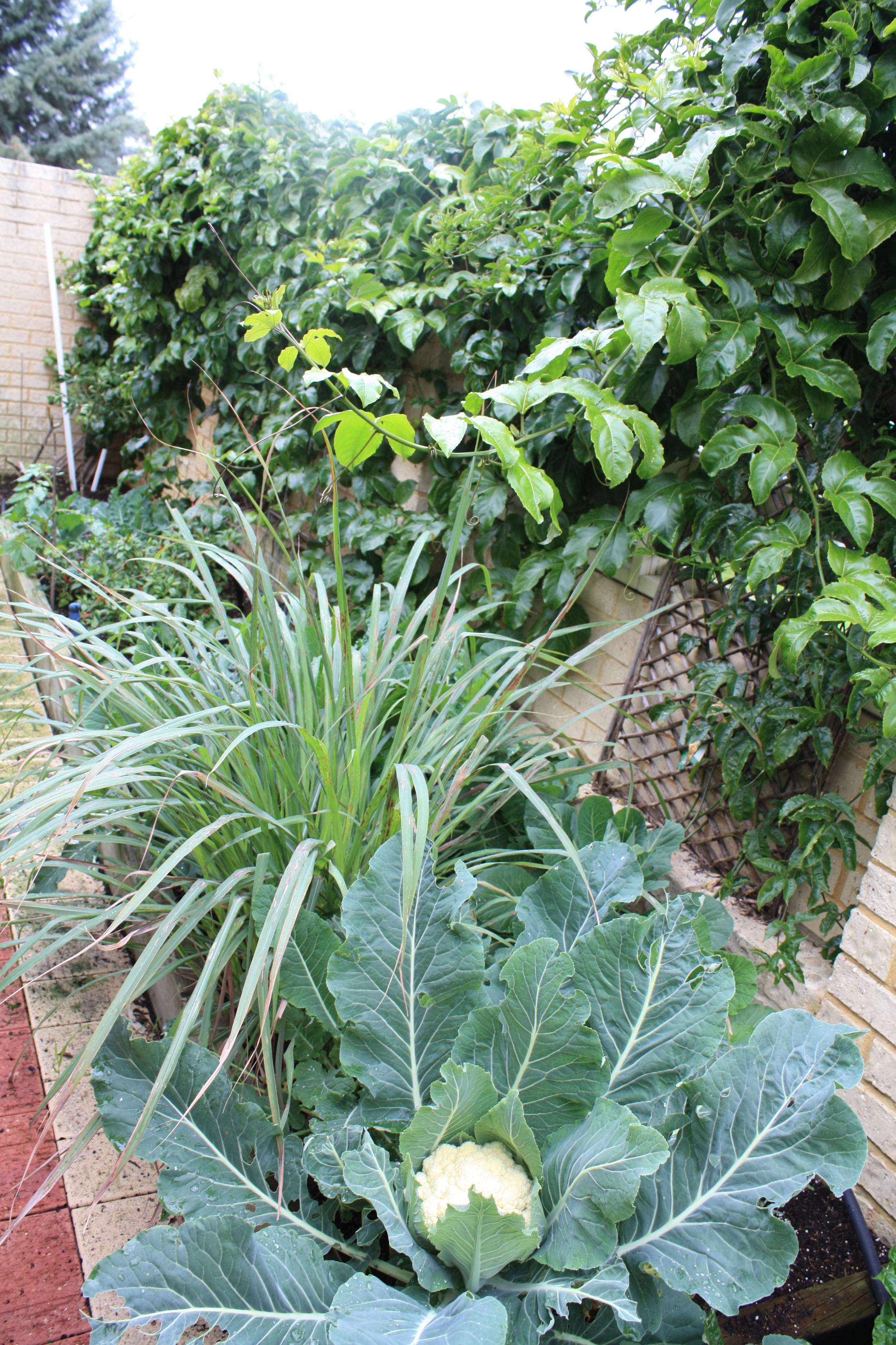 In this Dudley Park Garden the passionfruit and cauliflower are thriving.