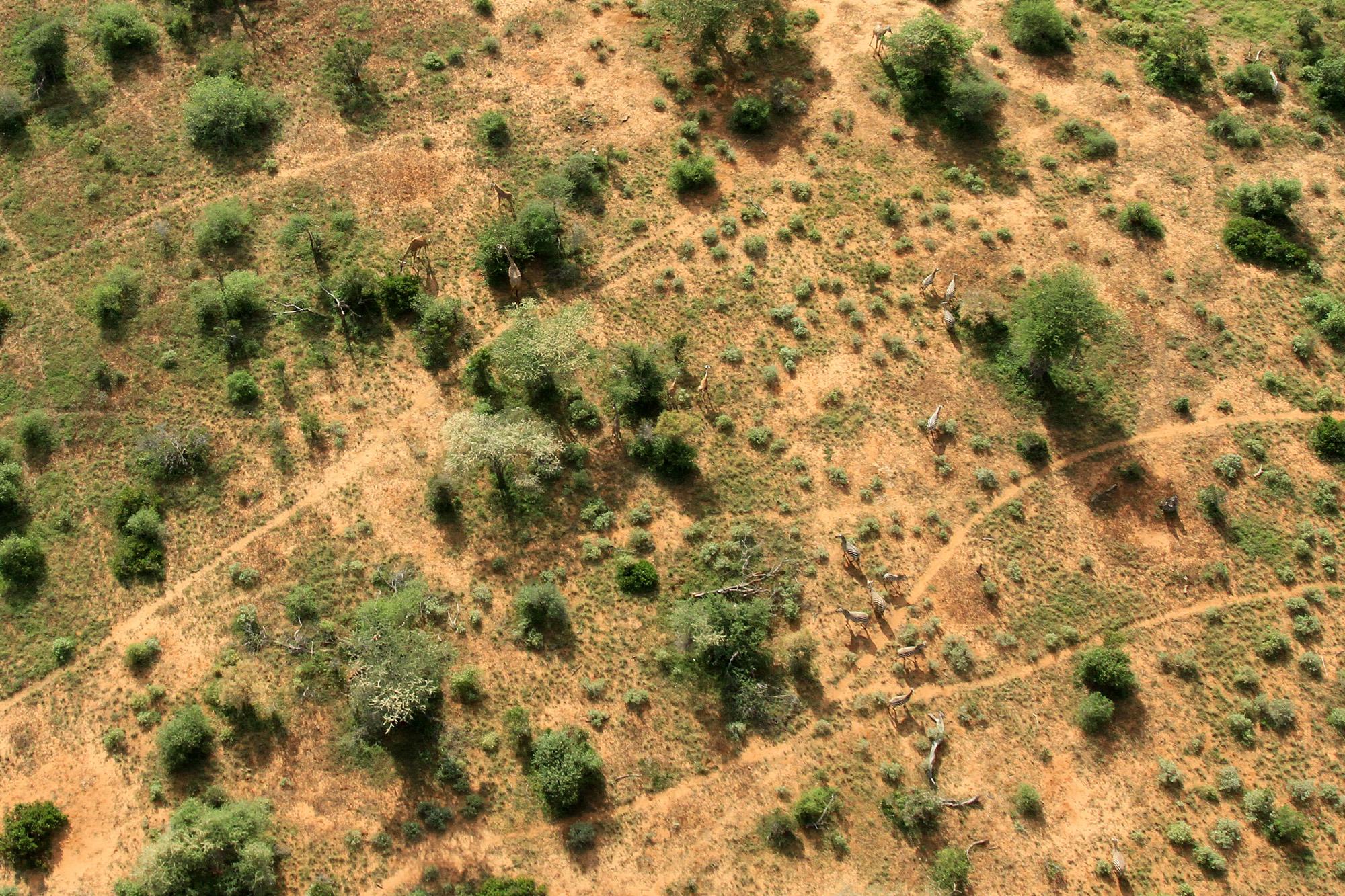 4 Giraffe and zebra Tsavo.JPG