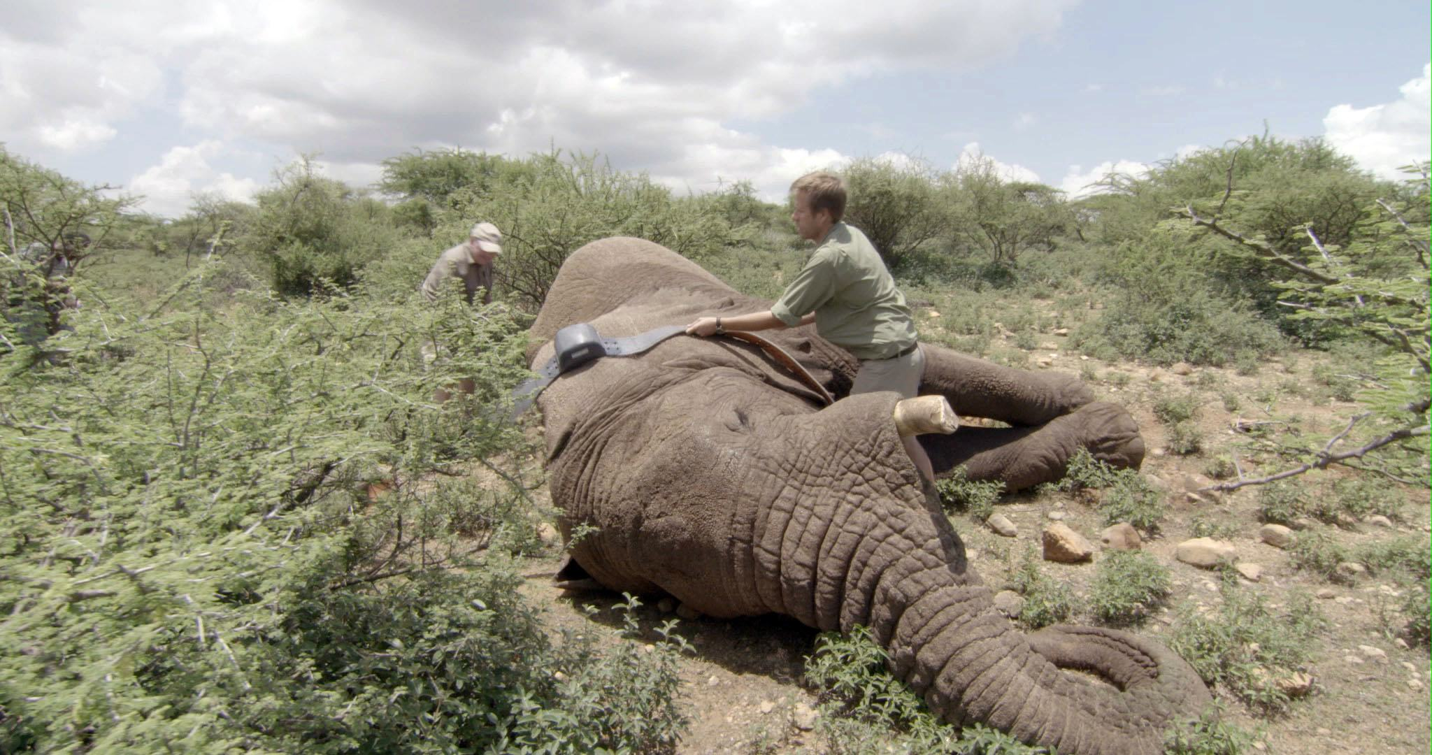 Dr. Mike Chase and a team member work to attach a tracking collar to an elephant.