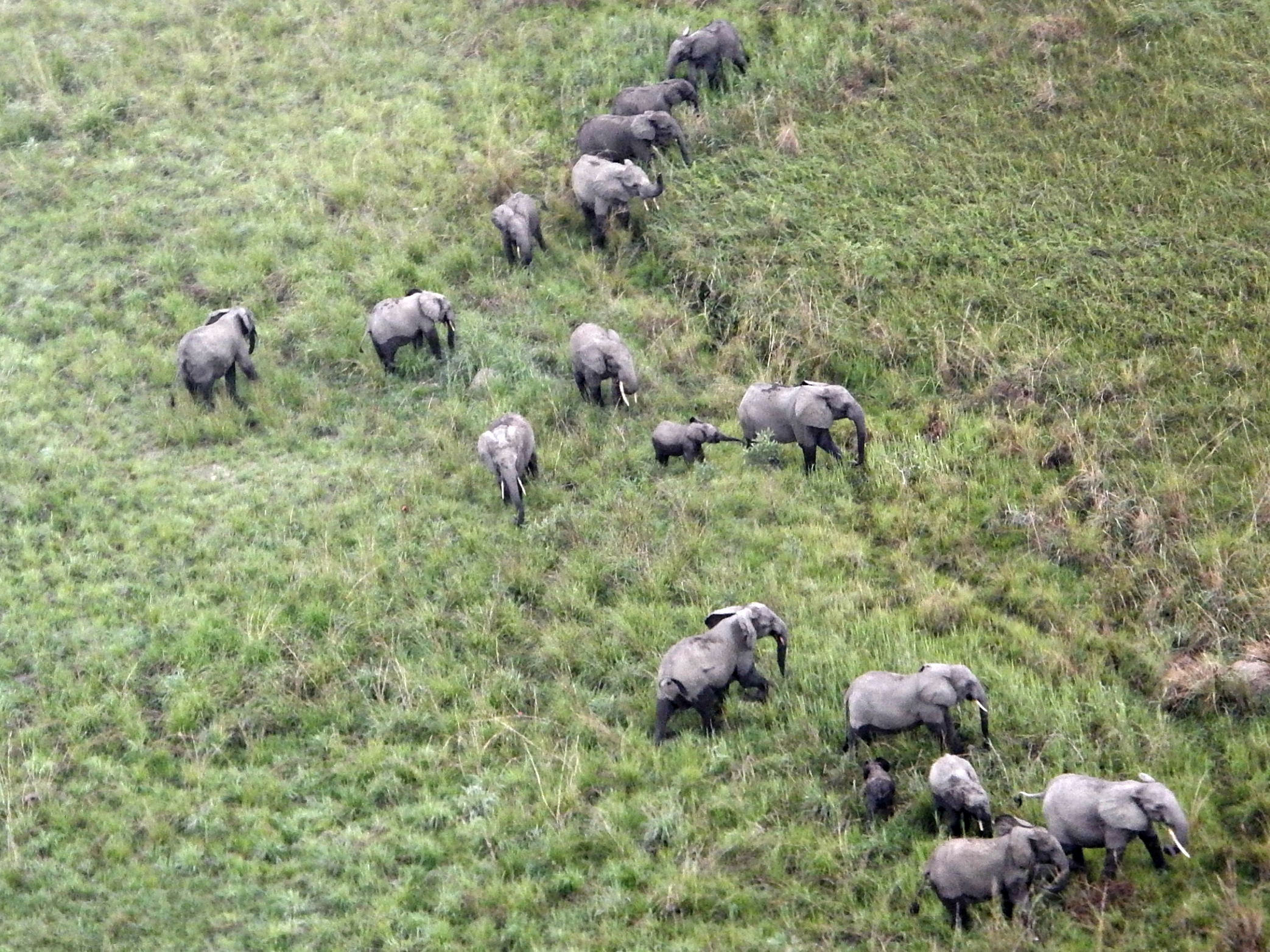 Study estimates a much more dramatic decline in African elephant numbers.