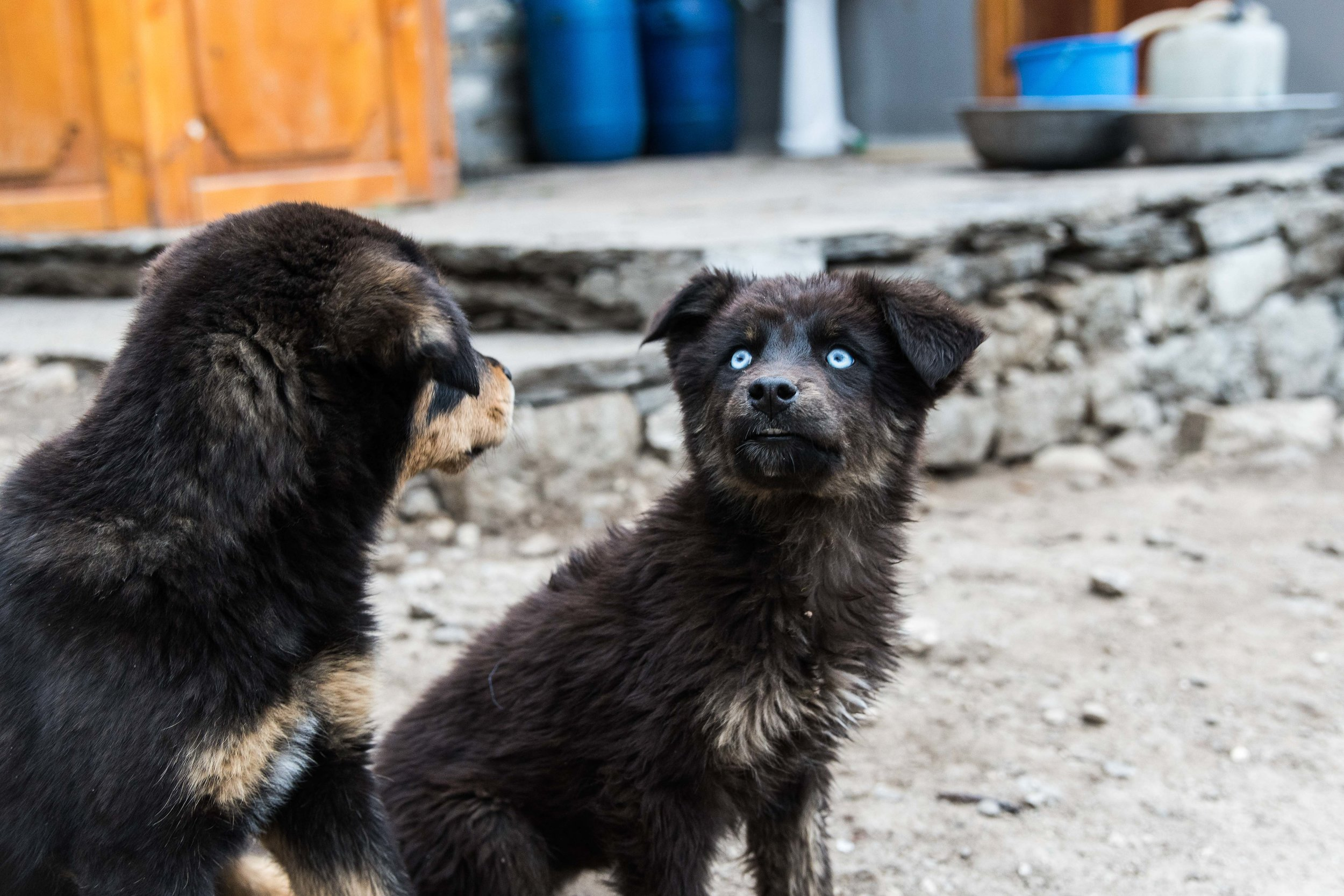 Blue-eyed dog in Pangboche