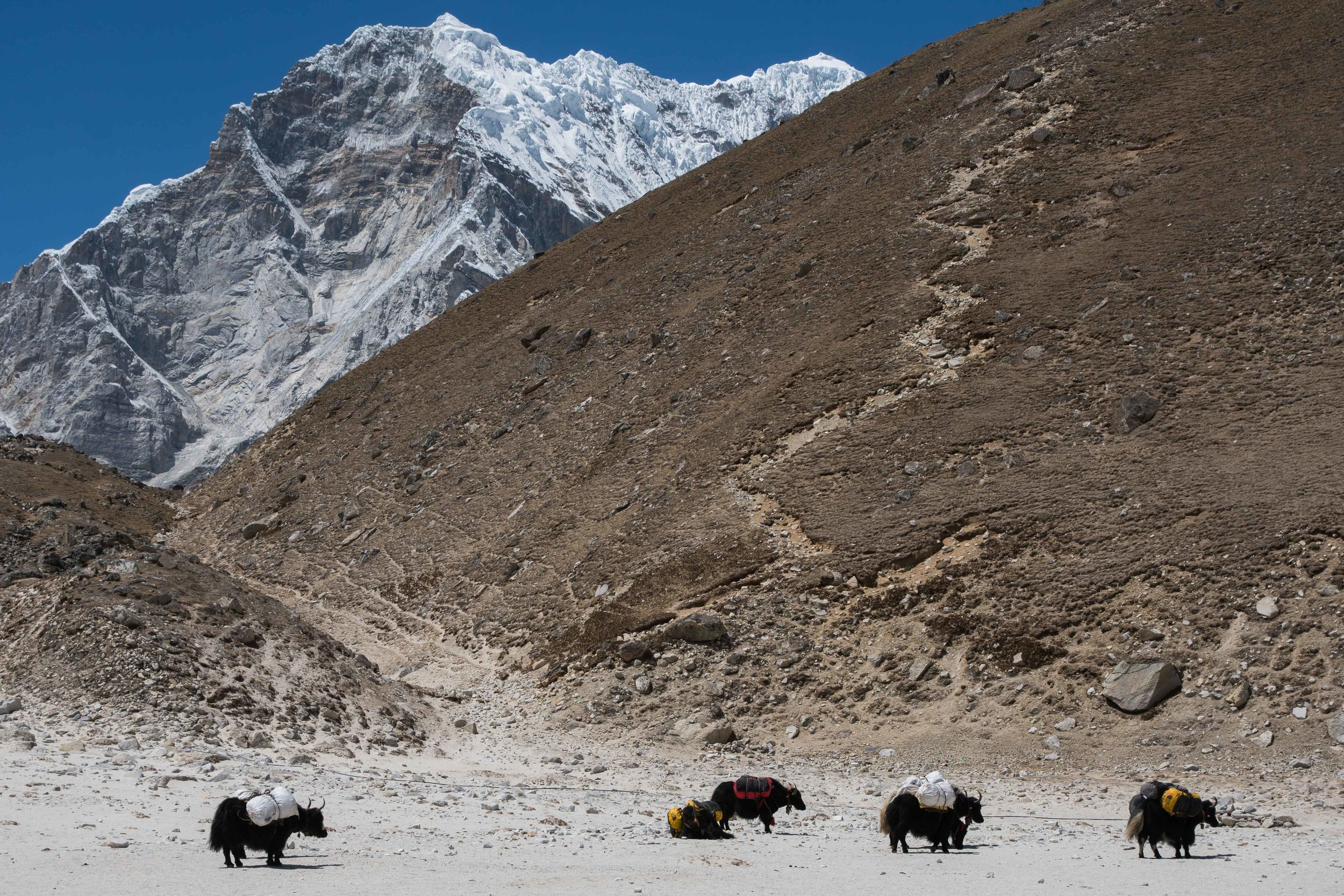 Yaks roam the sand pit in Gorak Shep.  Kala Patthar (18,530 ft; 5,649 m) rises just behind them with Chumbu (22,503 ft; 6,861 m) in the background.