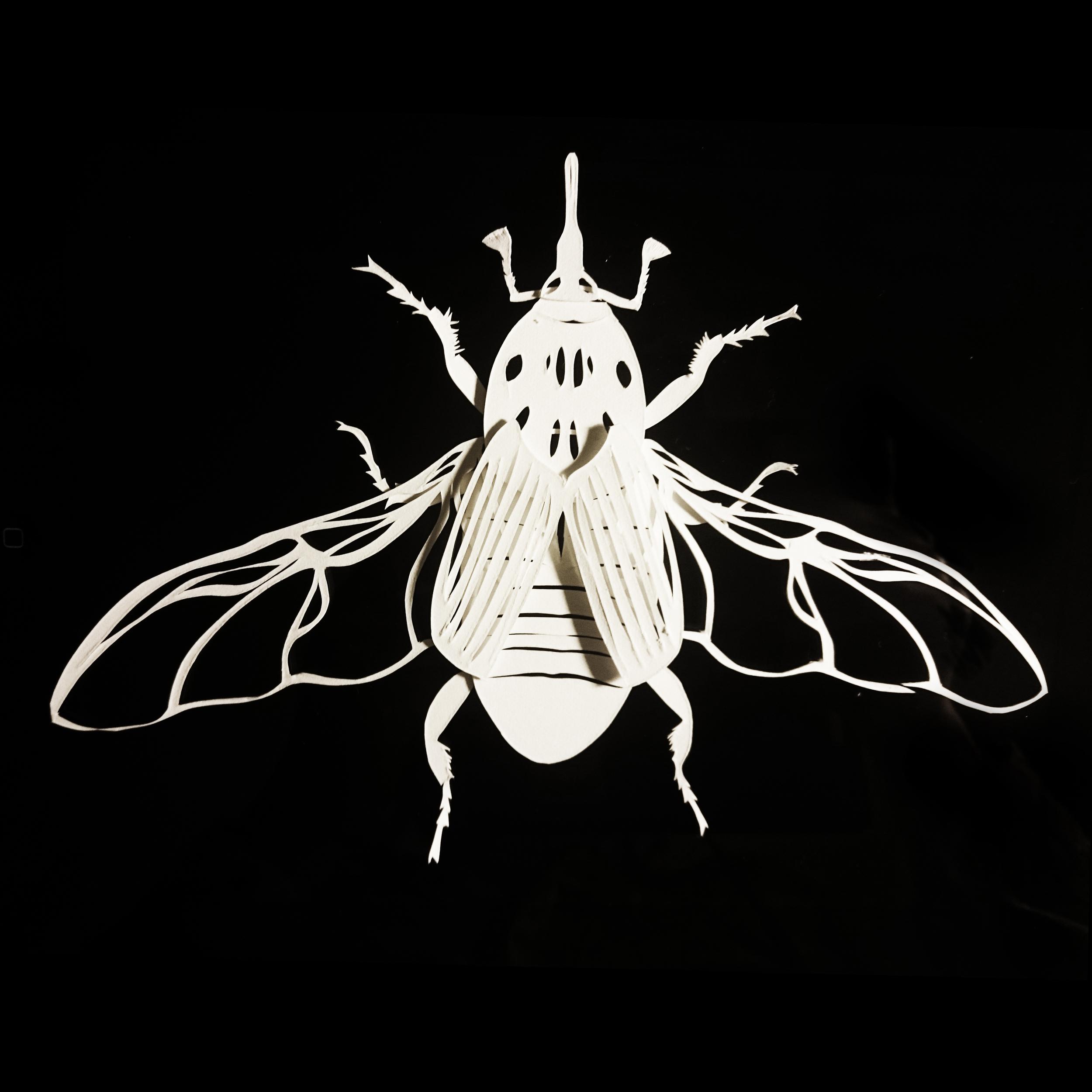 Rhynchophorus ferrugineus - papercut