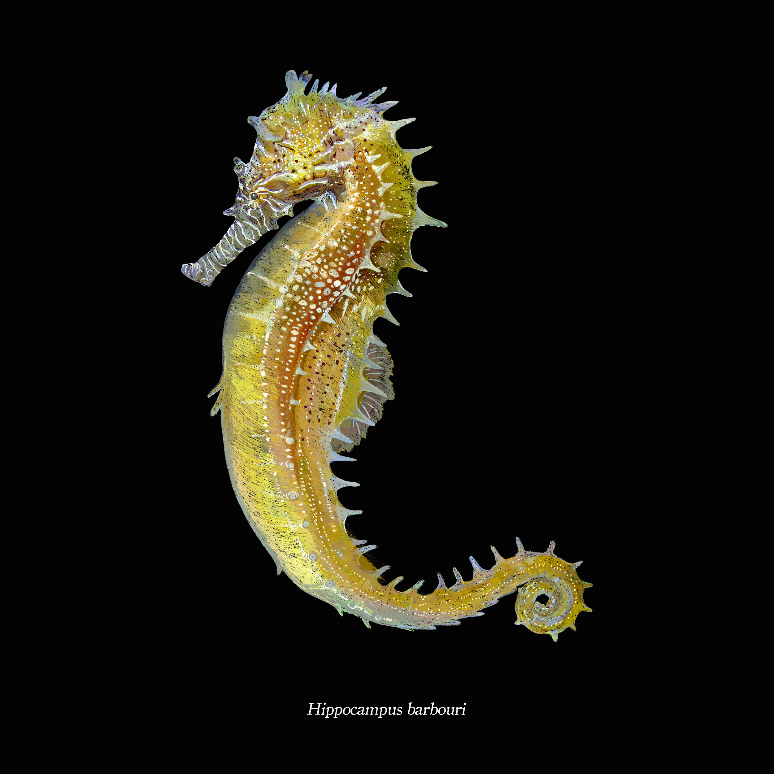 Hippocampus barbouri