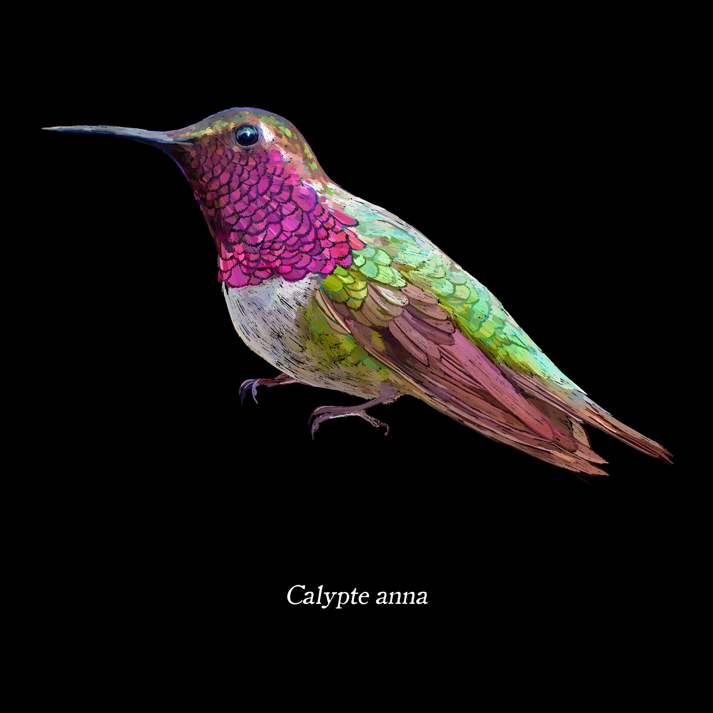 Calypte anna
