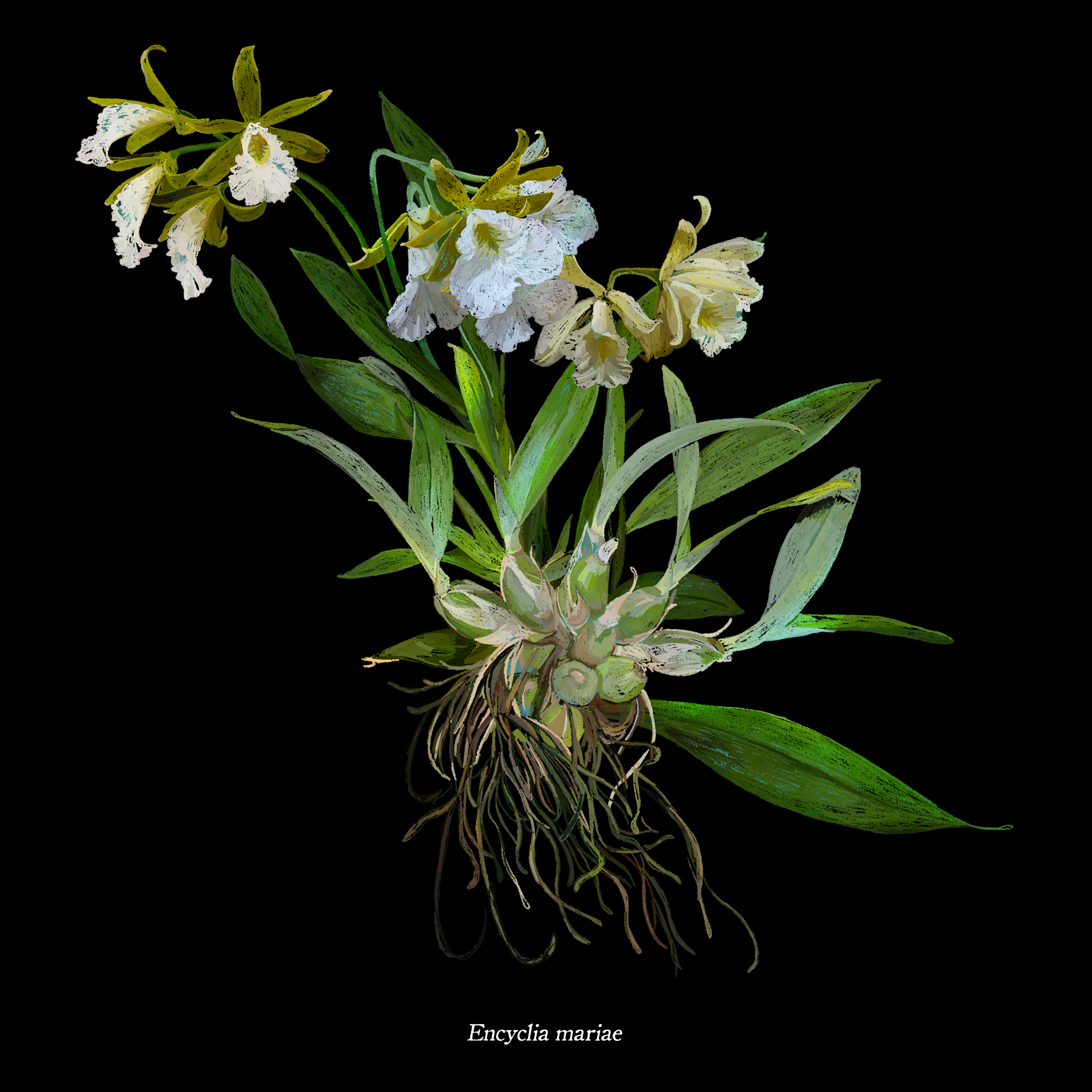 Prosthechea mariae