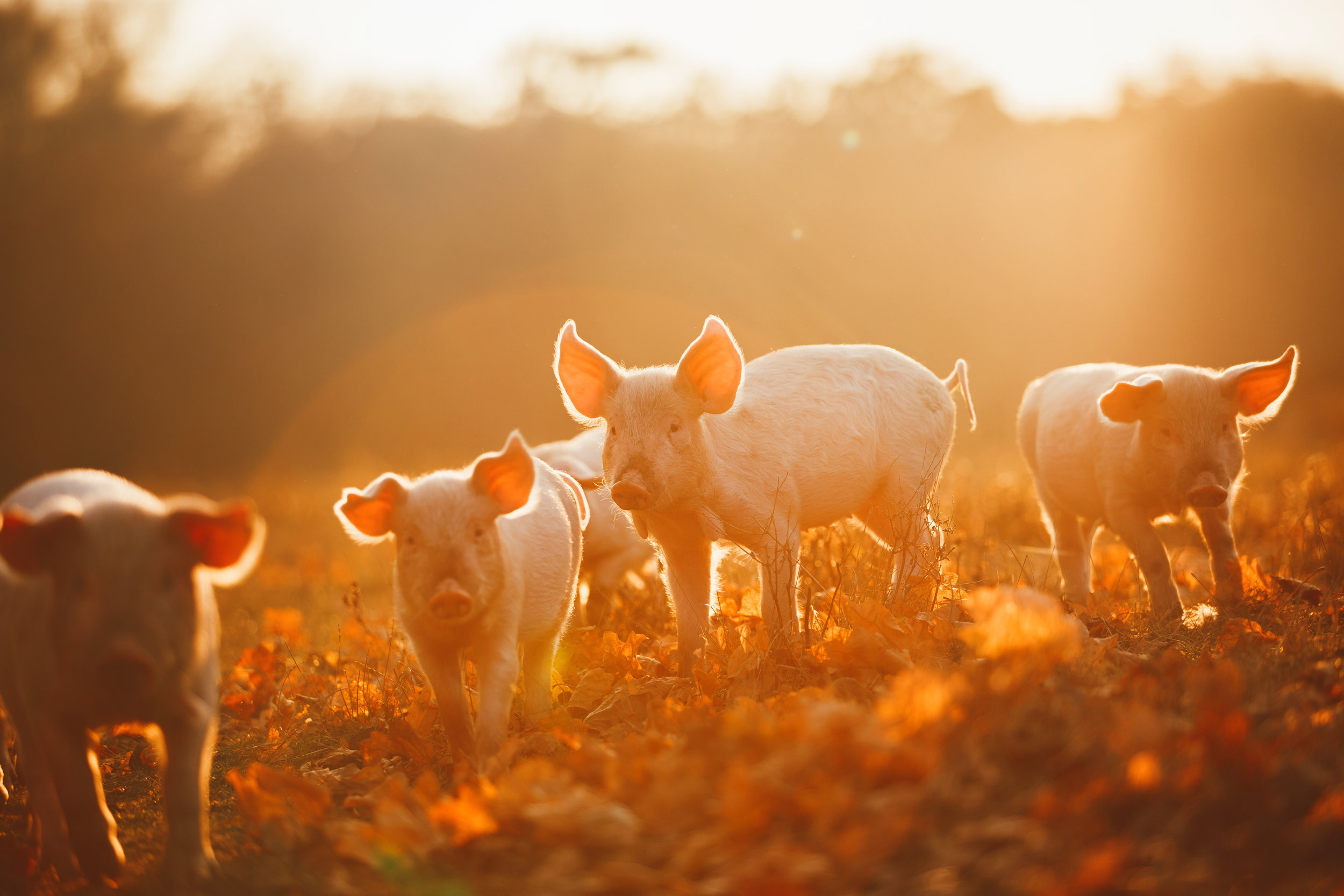 Chinese-New-Year-Earth-Pig.jpg