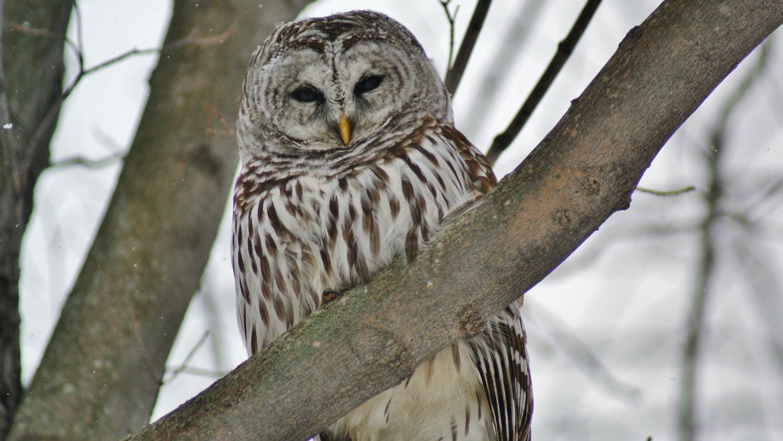 Bubo the owl    Photo credit - Anne Philpot