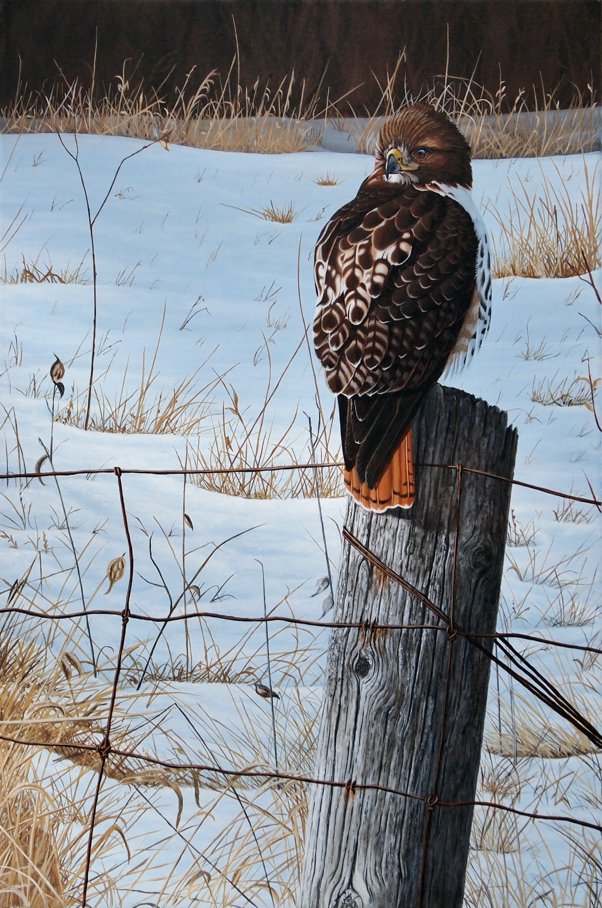 Winter Solitude - Red Tailed Hawk