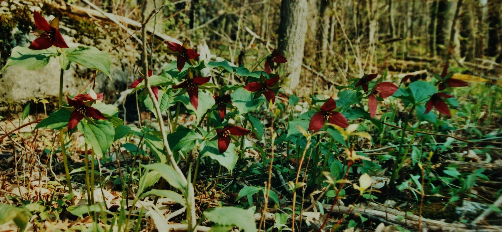 Nayler's Common Red Trilliums.jpg