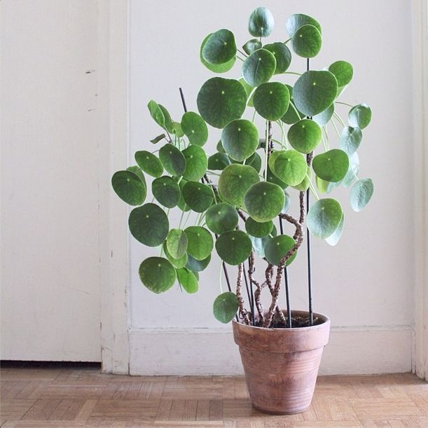 7.  Chinese Money Plant :   Personality Trait: Quirky, Sweet, Charismatic   Care Tips: Light- Bright, indirect light. Water- Drench and allow to dry before watering again. Keep soil well drained.  Mist weekly.
