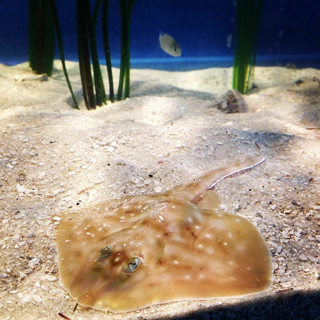 Clearnose skates can be found from Massachusetts all the way to southern Florida! They enjoy life on the soft, sandy seafloor and eat mostly crustaceans, bivalves, and squid.