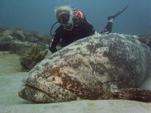A SCUBA diver with a goliath grouper.