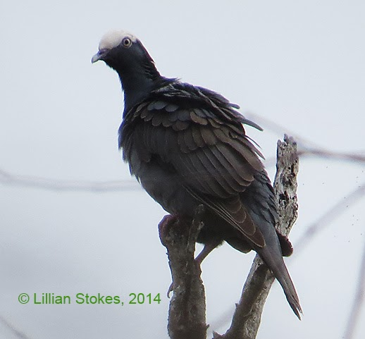 http://stokesbirdingblog.blogspot.com/2014/02/white-crowned-pigeon-ding-darling-nwr.html