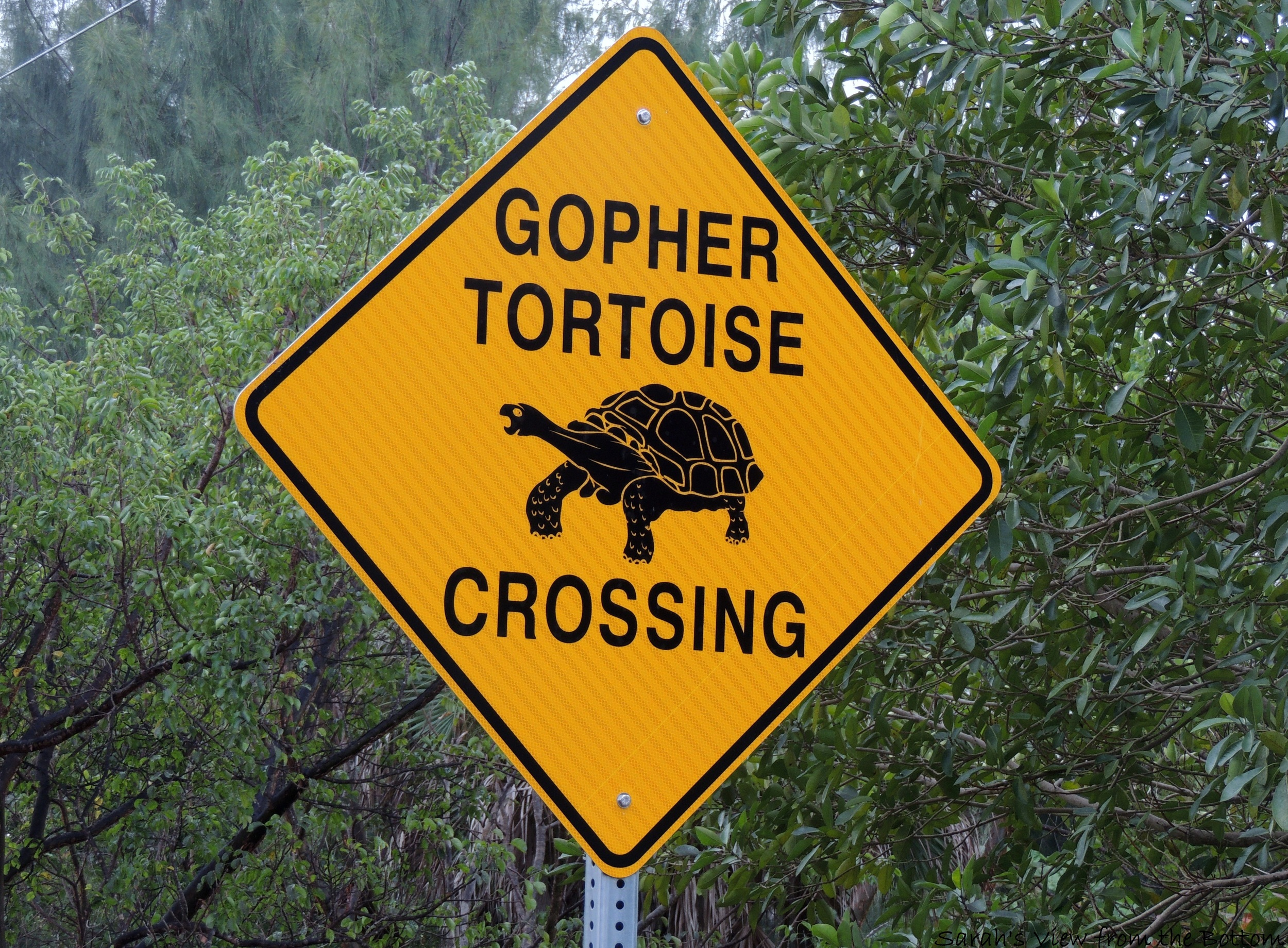 You may have snapped a photo of these road signs during your visit to Sanibel - an important warning to drivers indicating gopher tortoises may be nearby!
