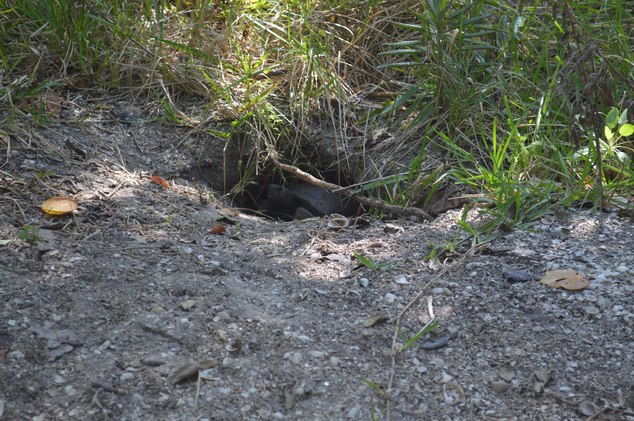 Our resident female gopher tortoise (  Gopherus polyphemus)    peeking at us from her burrow.