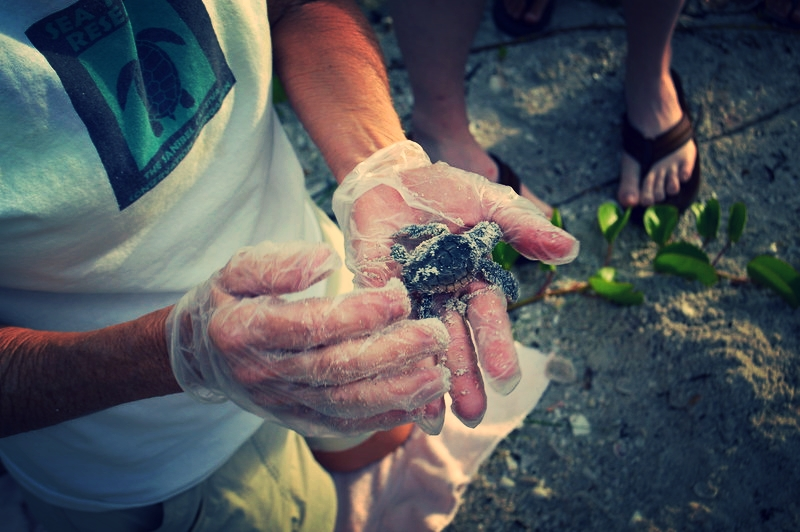 One of two tiny loggerhead hatchlings that were rescued for later release into the ocean.