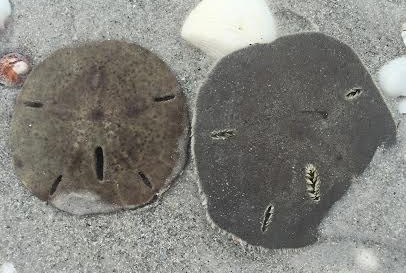The dead sand dollar on the left has started to fade.