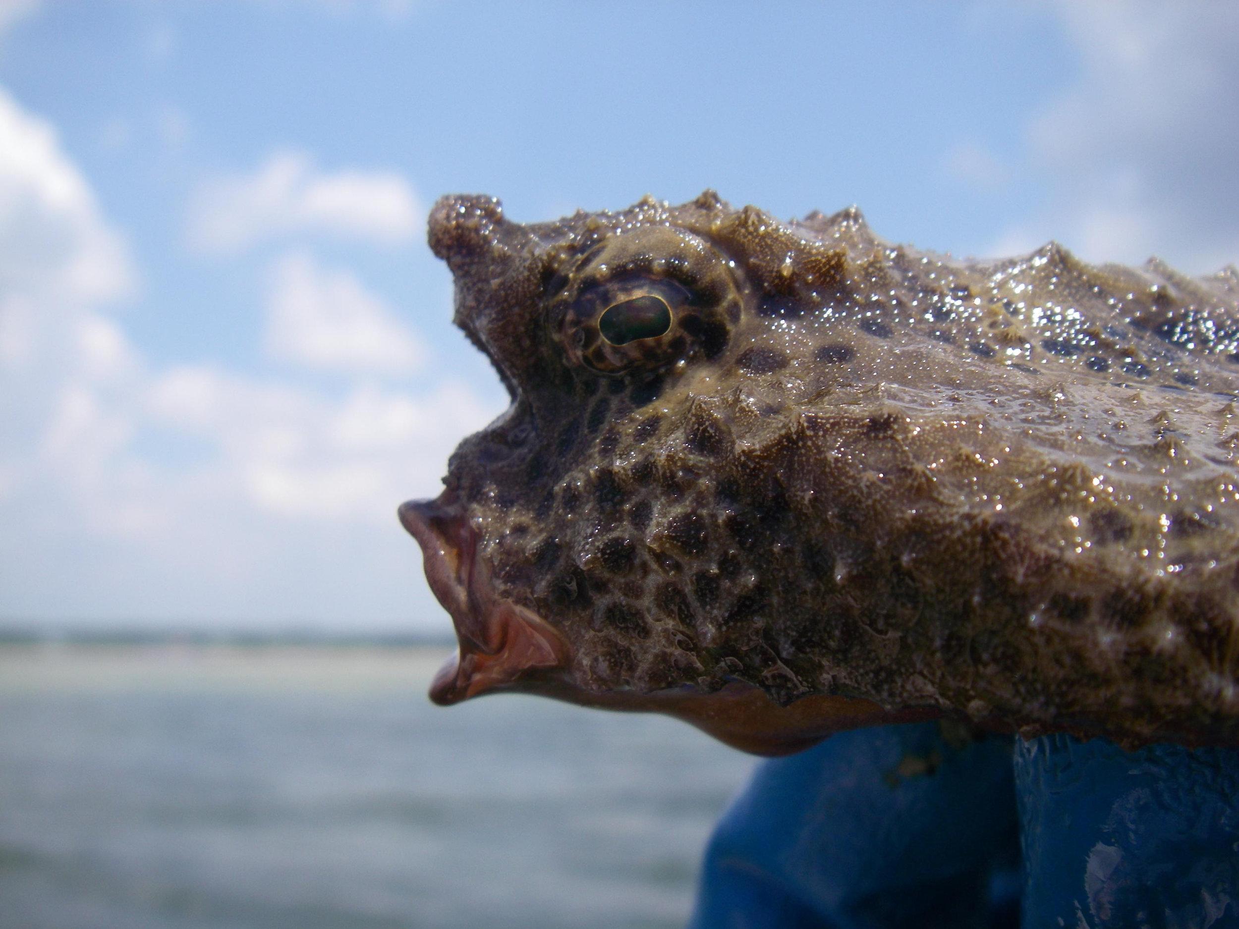 The head of a large, live polka-dot batfish.  Photo source .