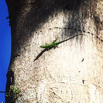 A magnificent green anole, native to Sanibel Island.