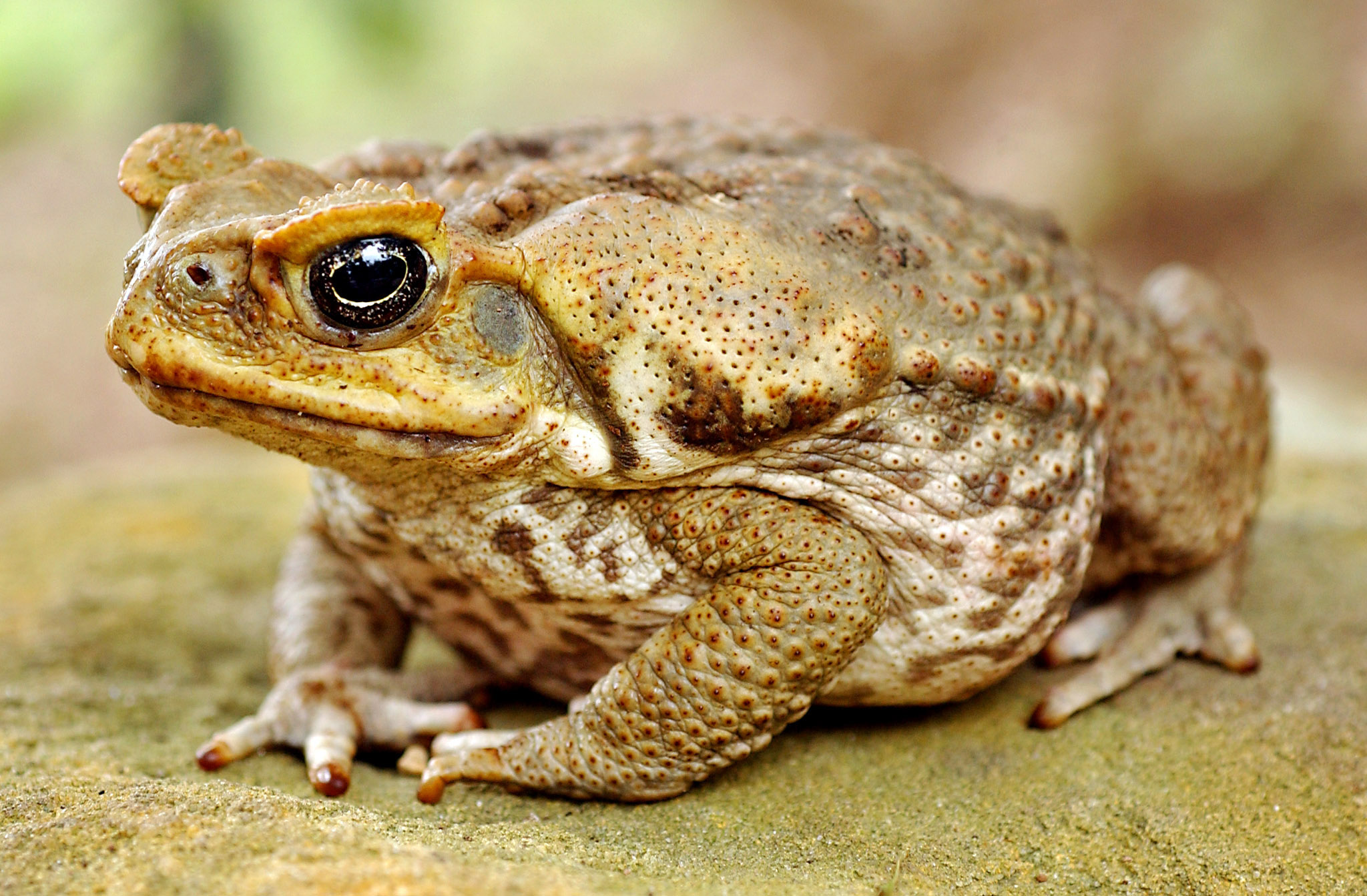 Cane toads are now relatively common on our island.