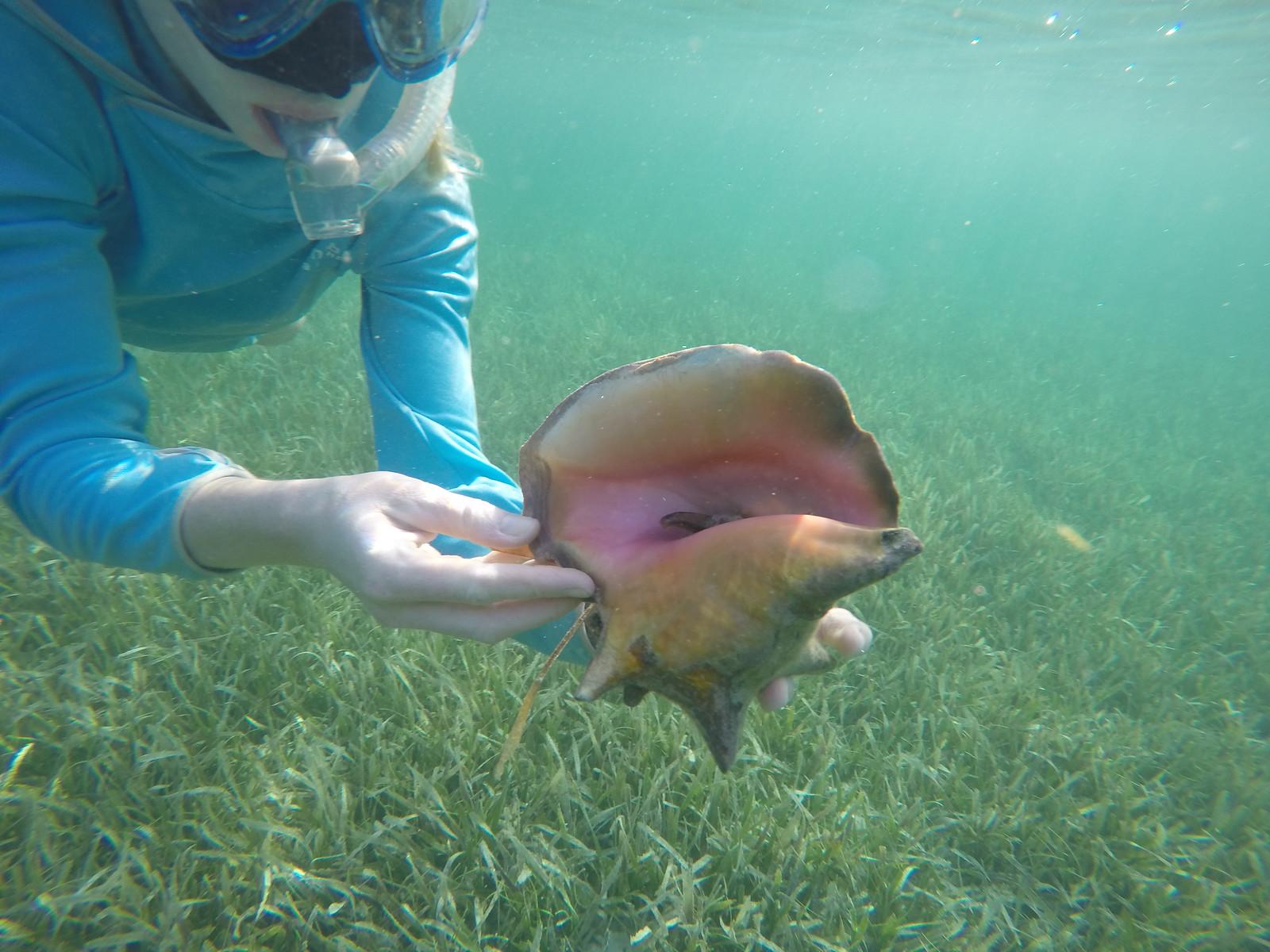 A queen conch.