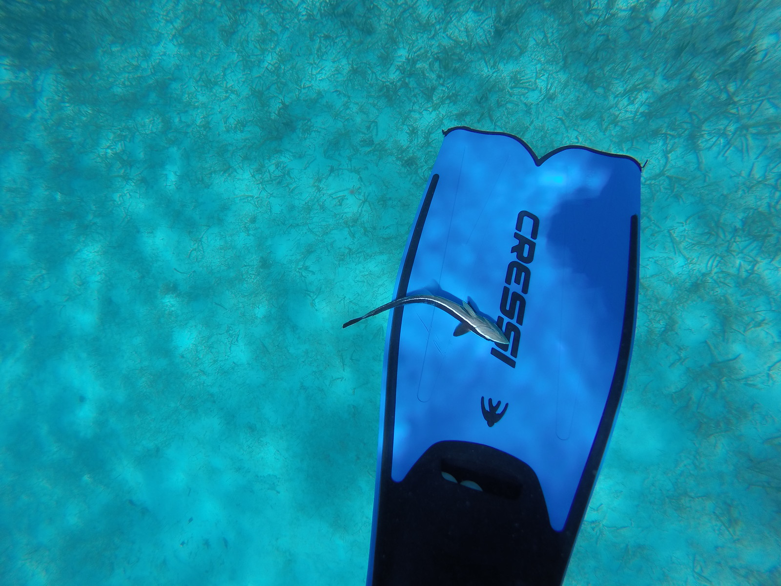 A remora attached itself to one of our snorkelers.