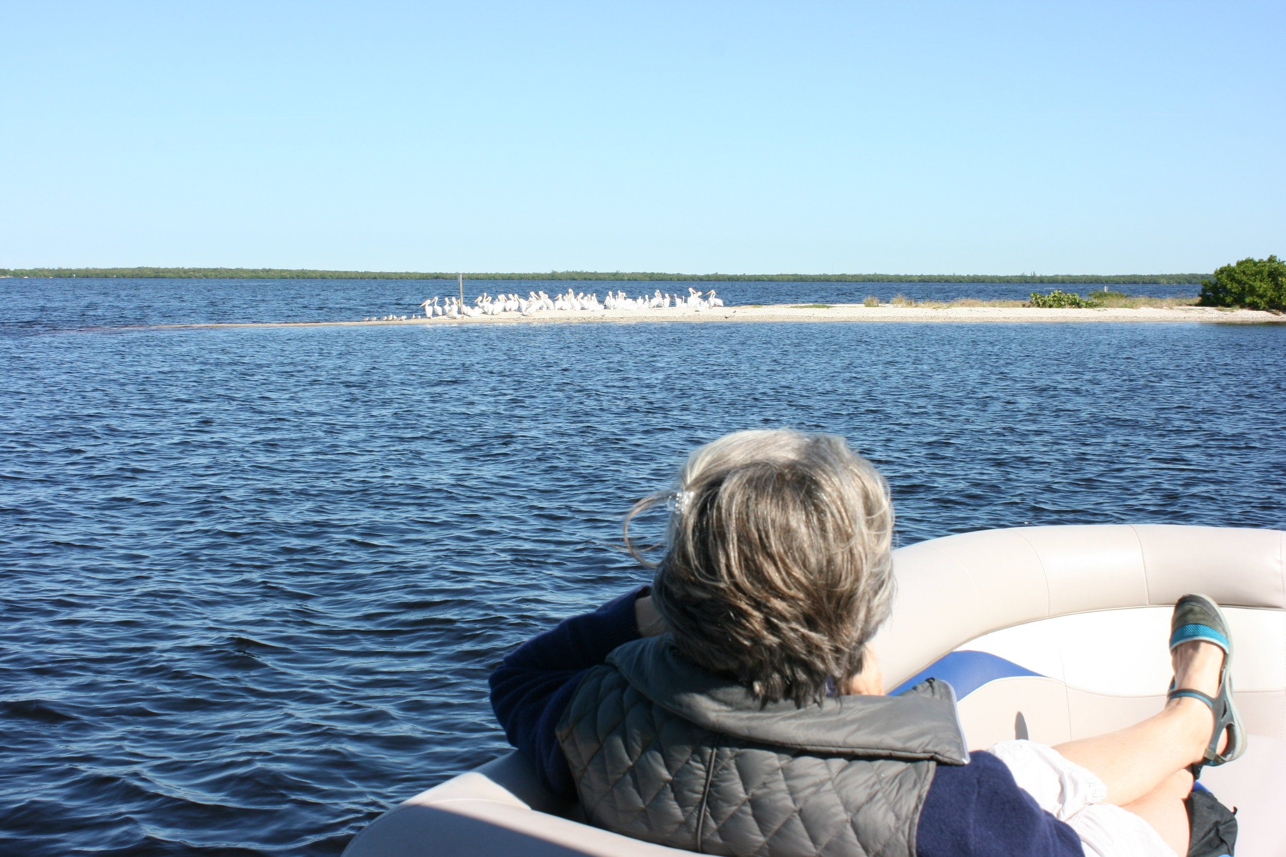 Participants observed a flock of American White Pelicans.
