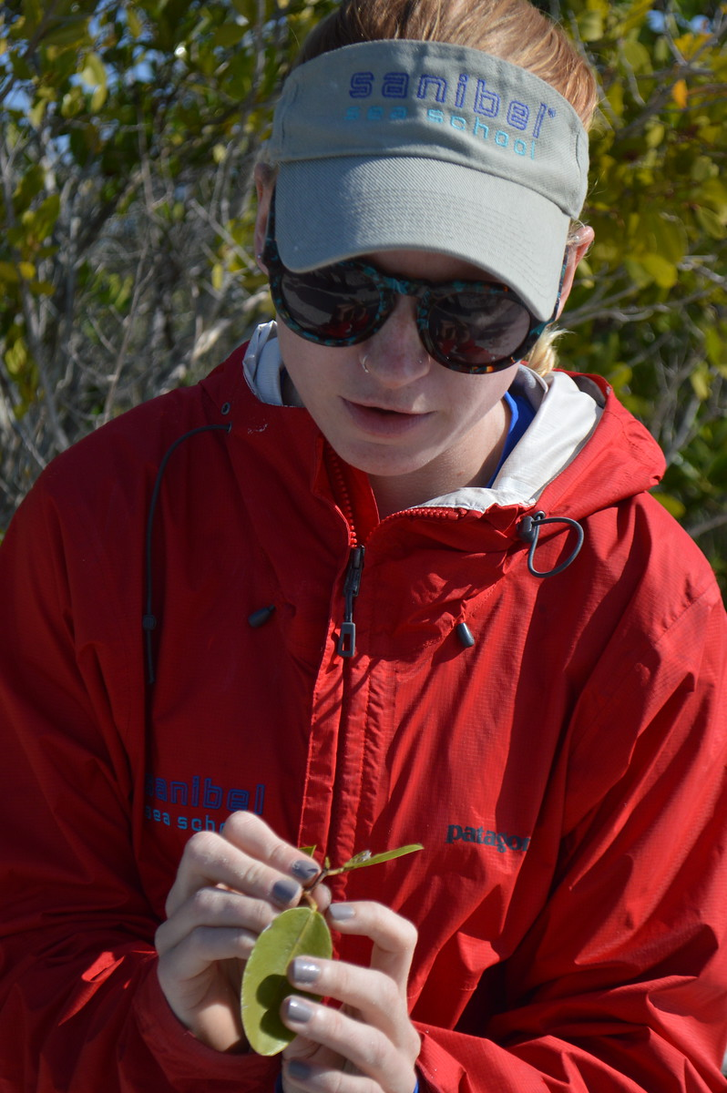 """Nicole Finnicum points out the extrafloral nectaries, or """"bolts"""", on a white mangrove."""
