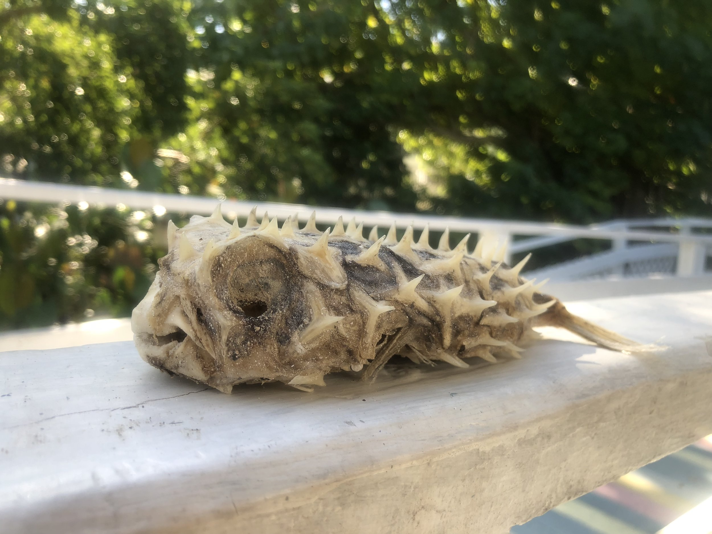 A dead, dried out striped burrfish.