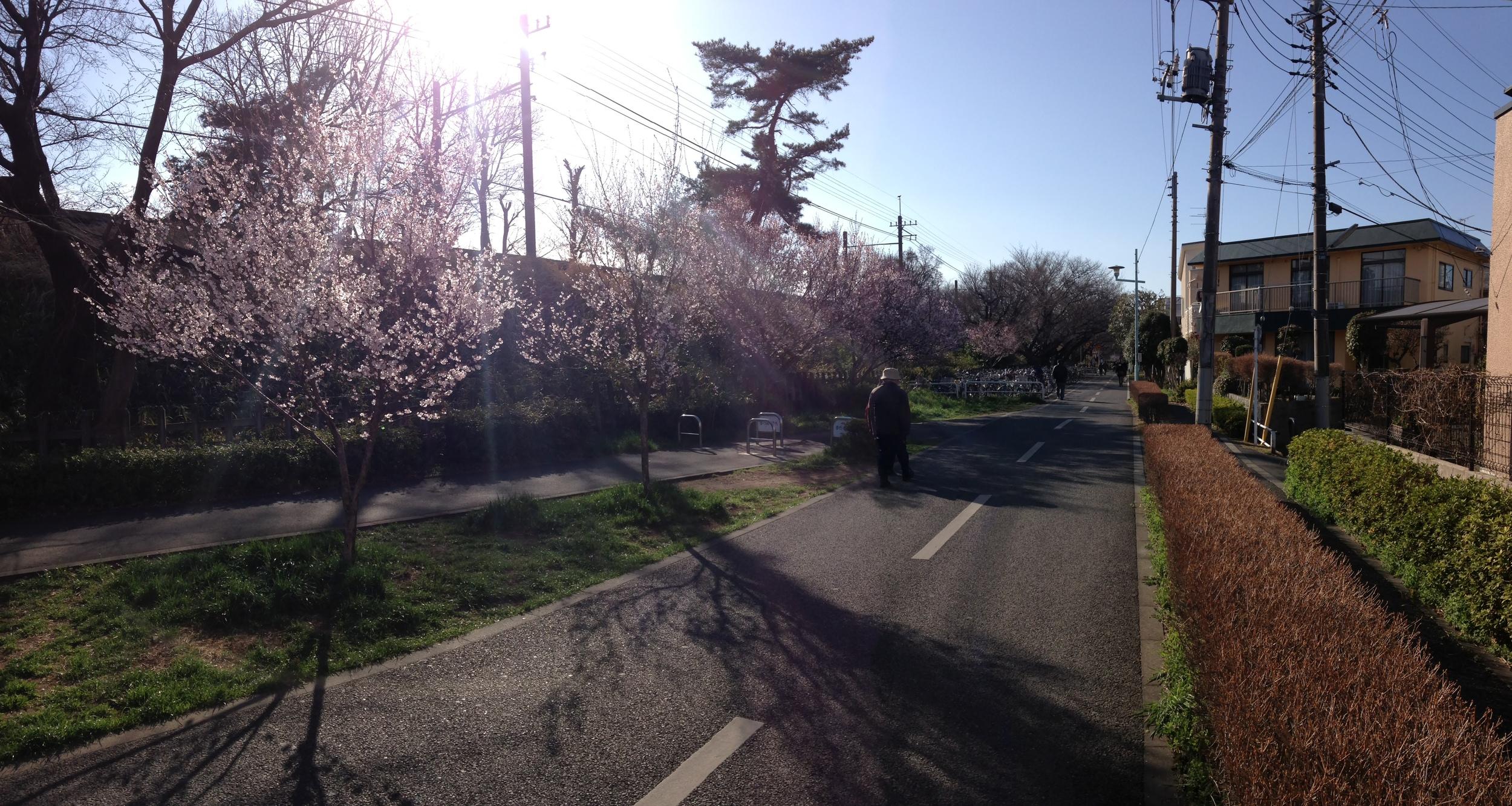 Sakura! 桜!