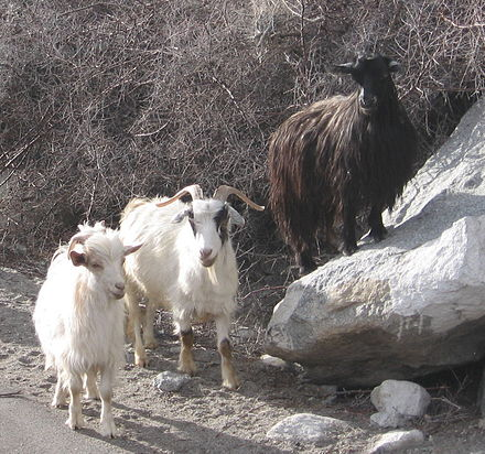 Changthangi (Pashmina) goats, Ladakh, India