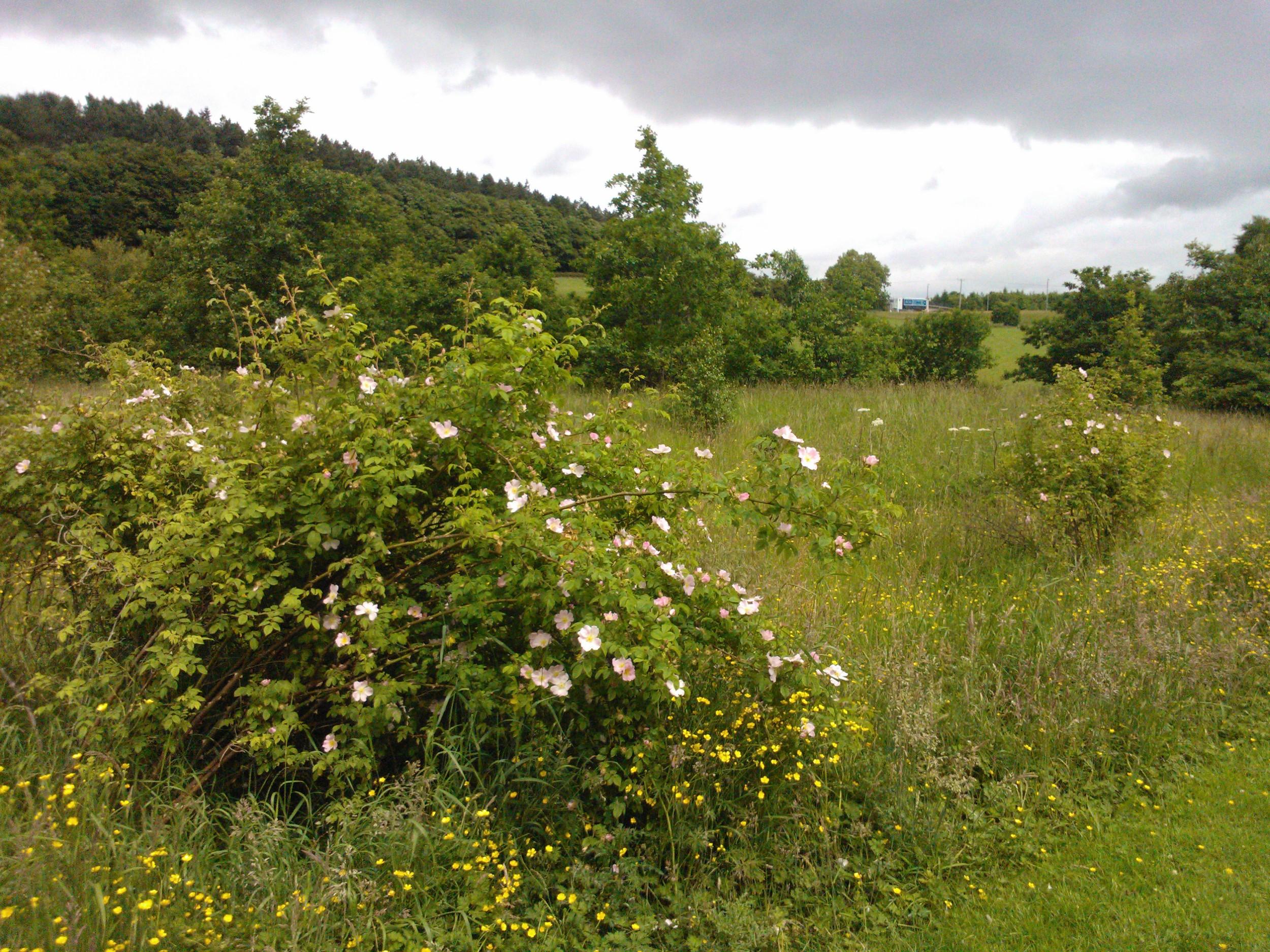 Pollok park roses