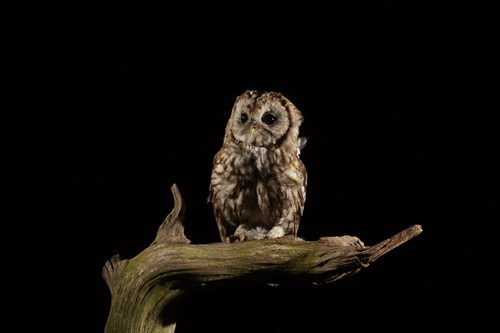 Tawny-Owl-IMG_5521LR.jpg