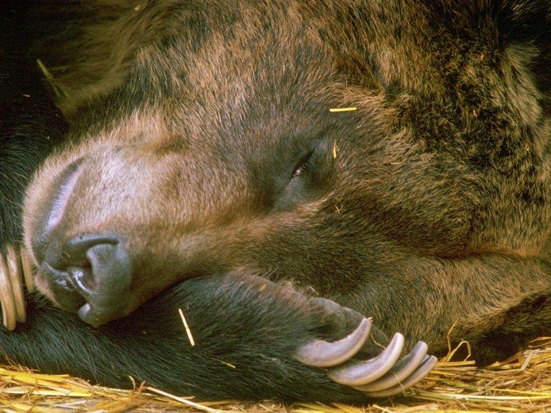 hibernating_bear_52744.jpg