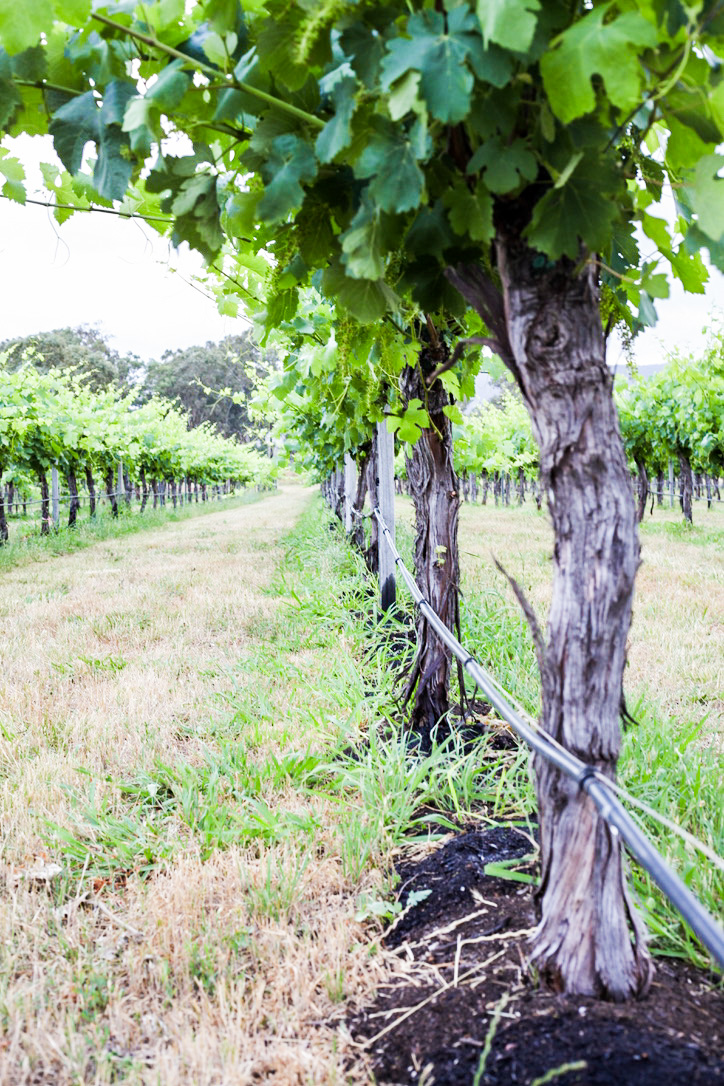 Composting to smother vine competitors - Controlling grass growth in an organic vineyard is tough going as they compete aggressively for water. Our neighbours use a chemical called sprayseed. It is a cheap quick and easy way to kill grass under the canopy. The organic options are limited to (1) mattock & elbow grease (2) ploughing (3) compost or mulch. We have chosen the latter in the hope of nourishing the vines as well as taming the worst offending grass – paspalum. It is now 3 weeks since we have applied compost under-vine and both the vines and the paspalum are both doing well! At this stage the strategy to improve our soil organic matter and smother the offender grass has been only half right. Watch this space!