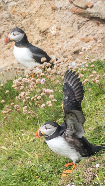 Sumburgh Head - Shetland Isles, David J Whyte, Linksland.com (1 of 1)-7.jpg