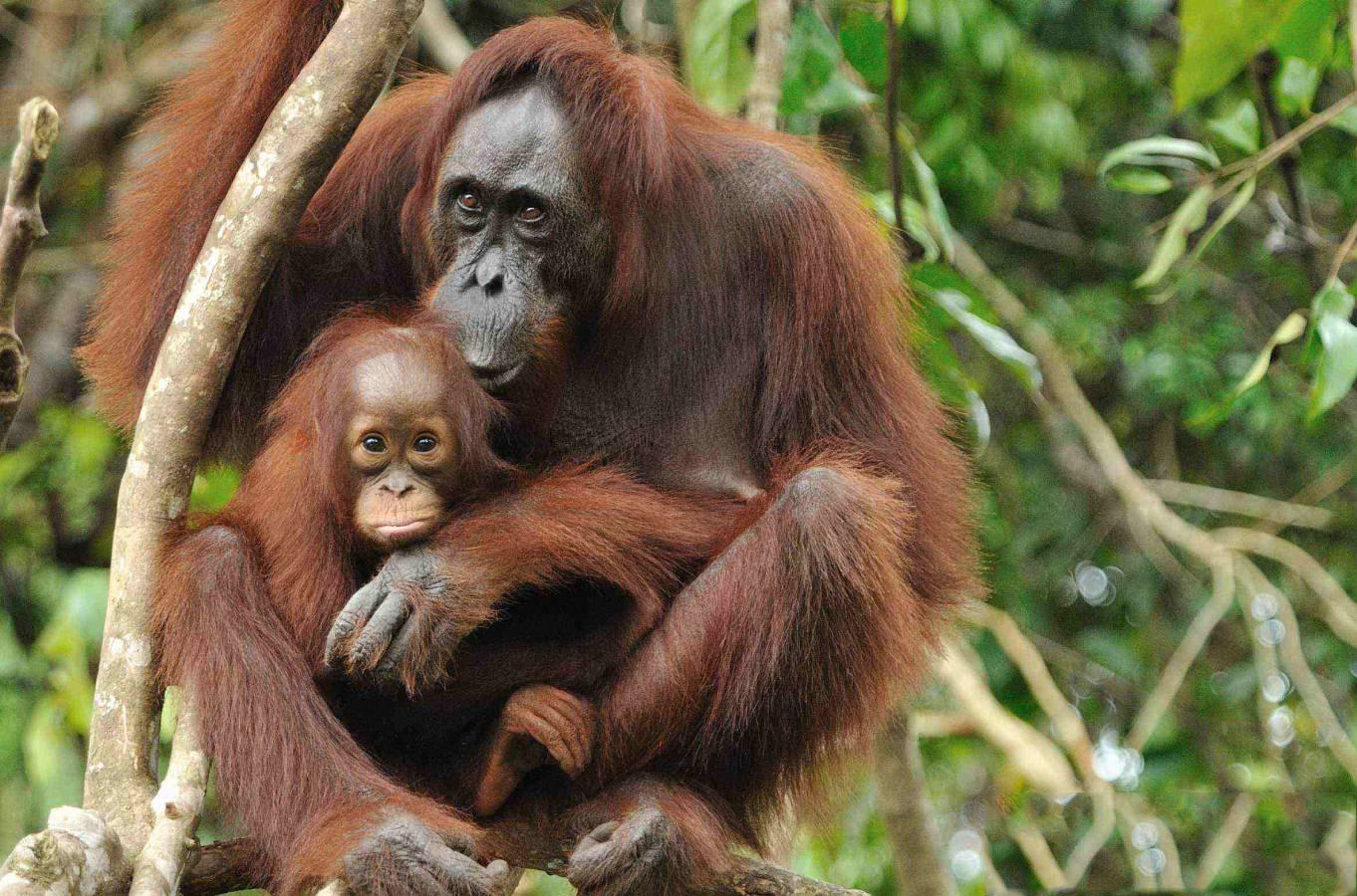 Orangutan : a child with his mother