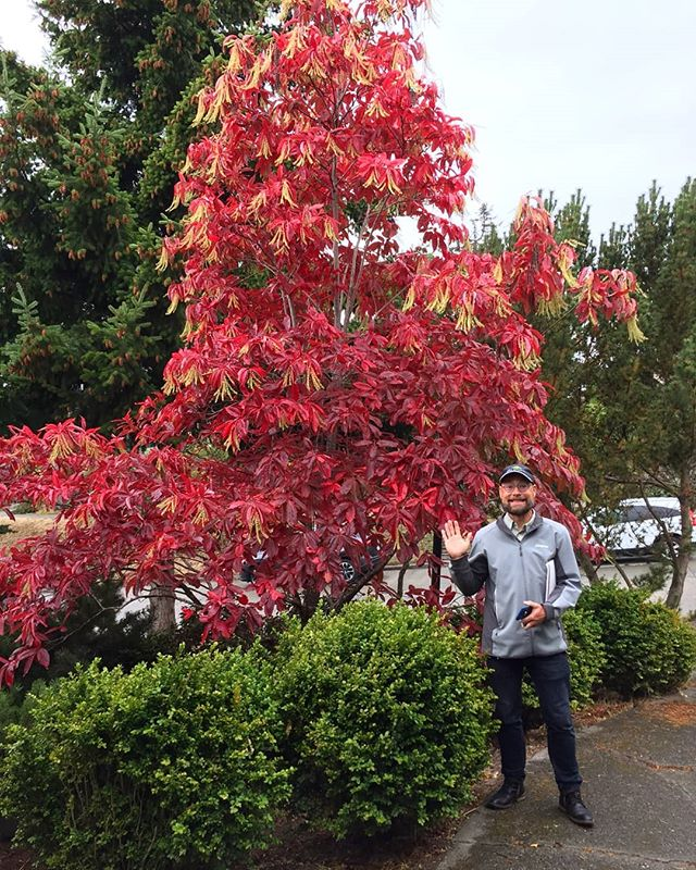 It's Fall! A beautiful sourwood tree at a client's home in West Seattle. Oxydendrum arboreum. . #plantnerd #plantlust #plantgeek #gardendesign #garden #residentialgardendesign #landscapearchitect #landscape #landscapearchitecture #sitedesign #siteplanning #tree #sourwood #oxydendrumarboreum