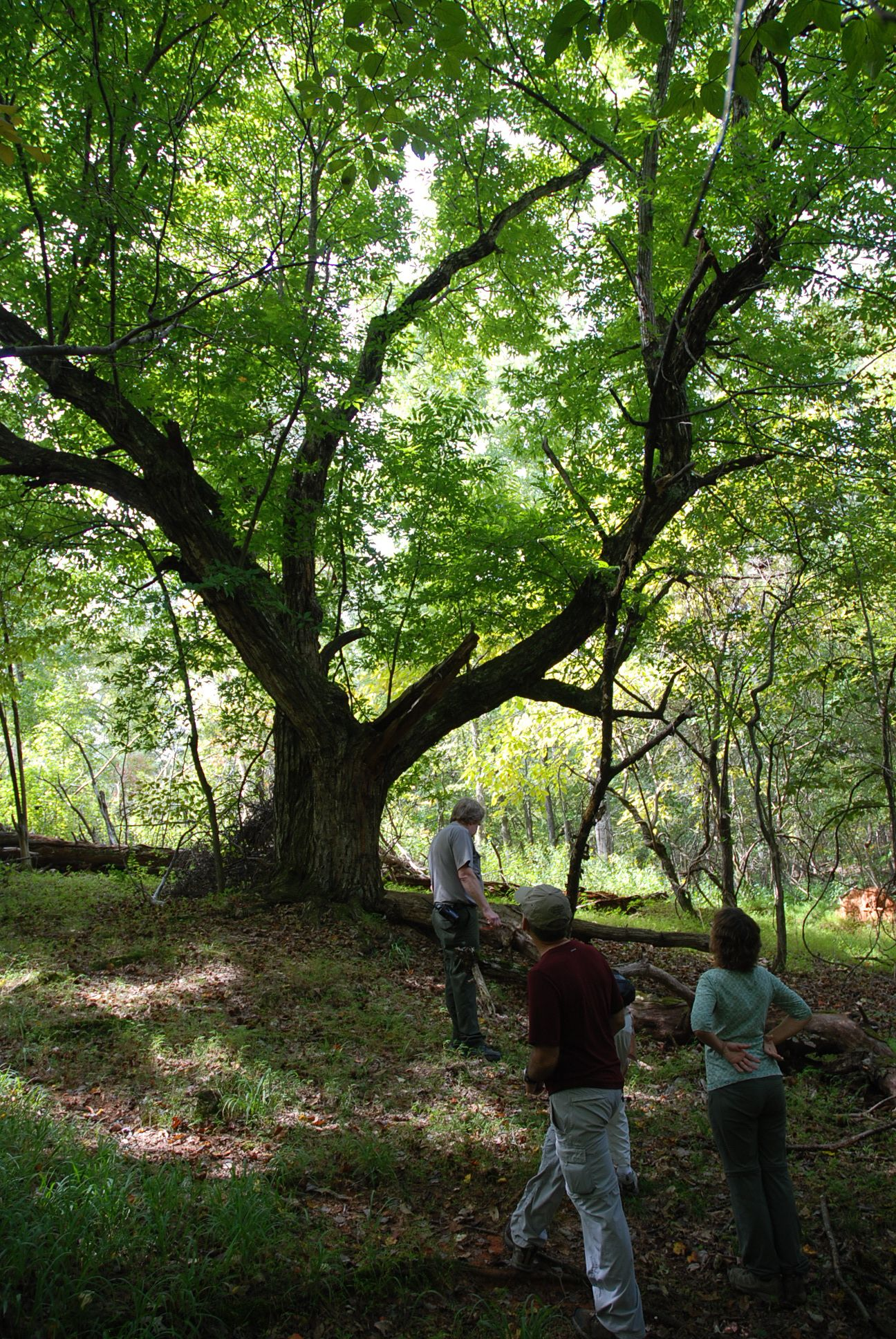 Record Japanese Chestnut tree.jpg
